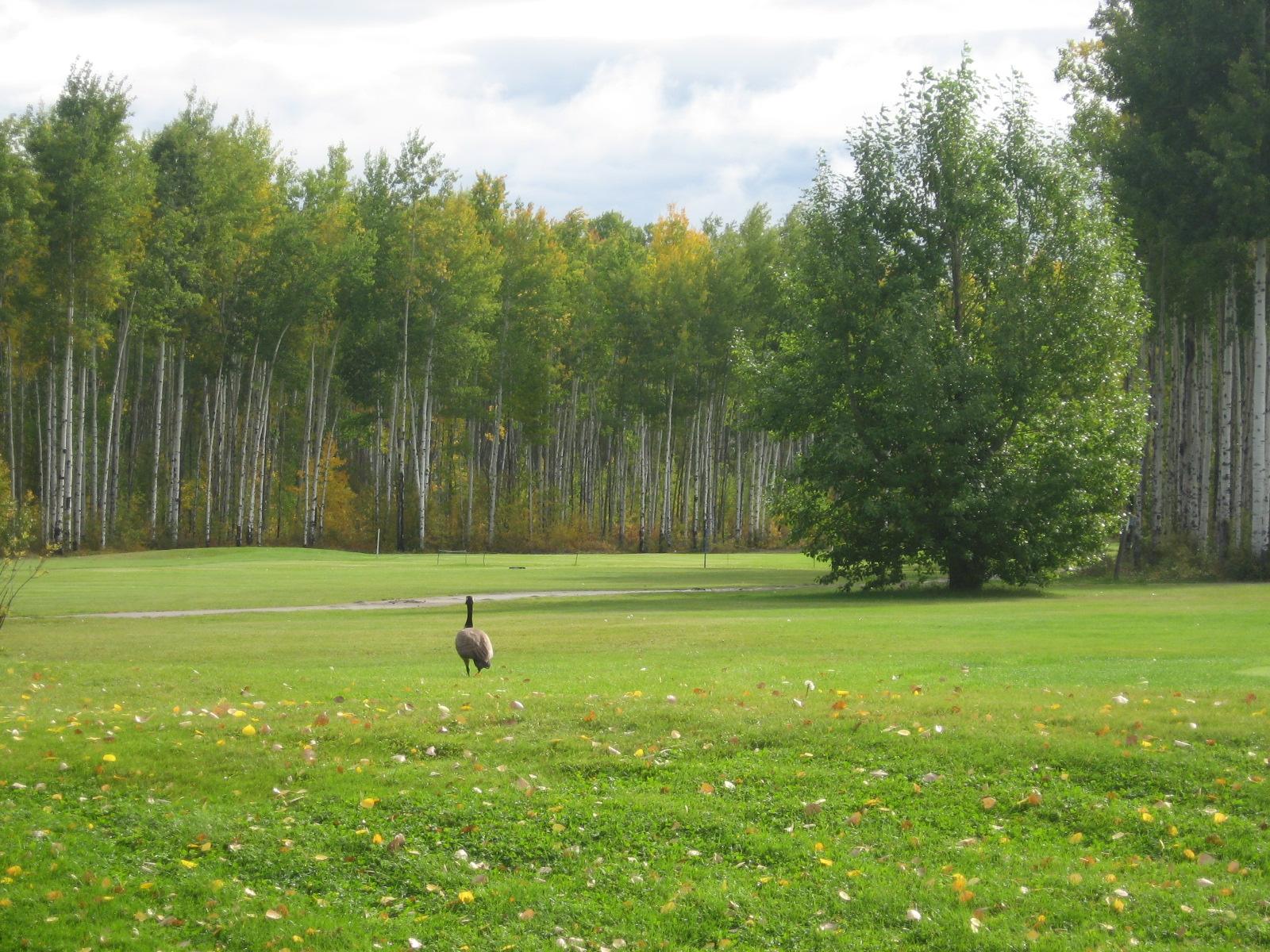 golf-course-goose