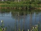golf-course-ducks